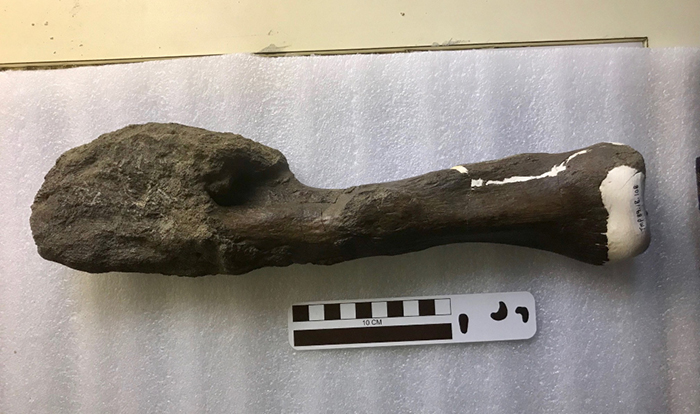 The badly malformed end of this Centrosaurus apertus fossil was originally thought to represent a healing fracture -- but researchers have now determined it was a malignant tumour. Photo by Danielle Dufault, Royal Ontario Museum