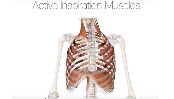Active inspiration muscles