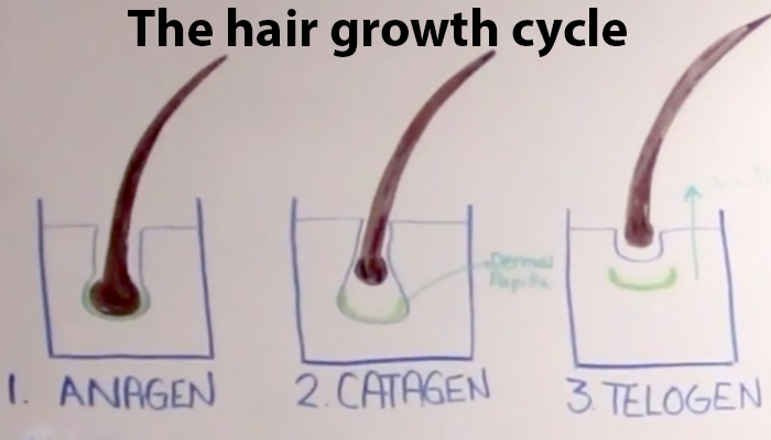 Alopecia areata: The Hair growth cycle