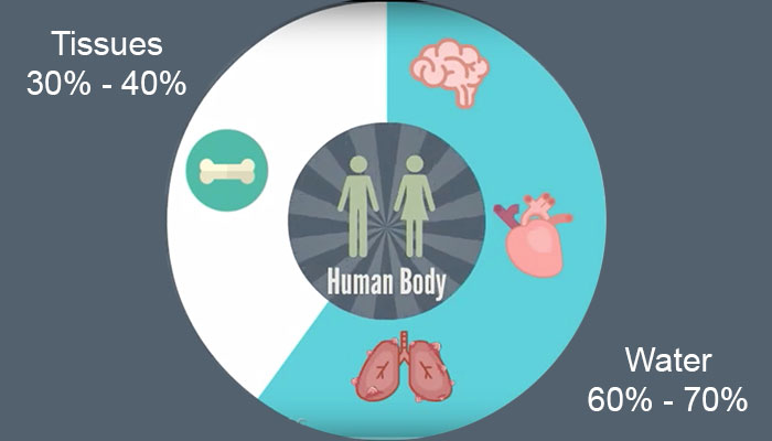 Proportions of tissues and water comprising human body
