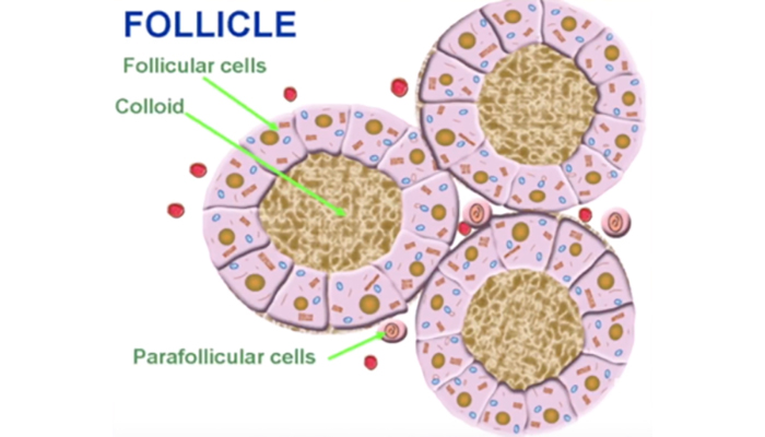 Follicle in ovary