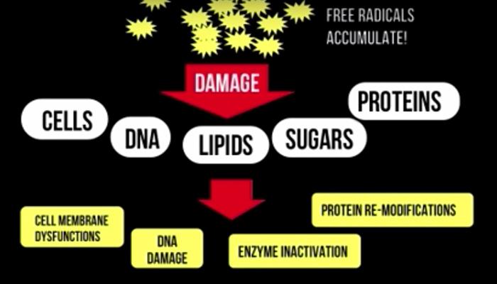 Free radicals accumulate