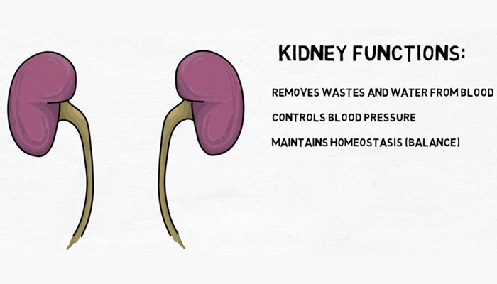 Kidney functions