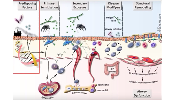 Mechanisms behind allergic asthma
