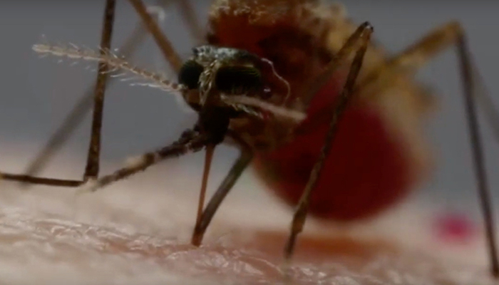 Mosquito drawing blood from human skin