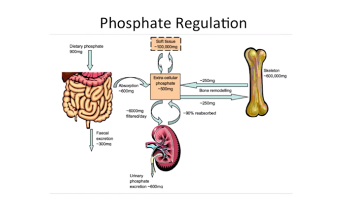 Phosphate regulation