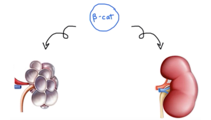 Role of beta-catenin in kidney development