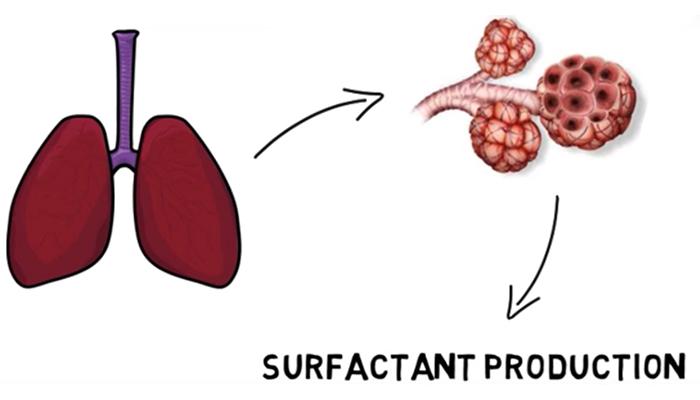 Surfactant production